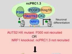 柳三雄等揭示非經典PRC1啟用轉錄並參與大腦發育的機制