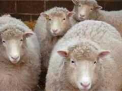 人類歷史上第一個克隆成功的哺乳動物綿羊多利誕生多利生平