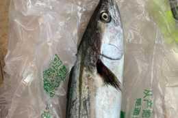 怎麼挑選鮁魚?有2處一定要看,保你買到新鮮的鮁魚