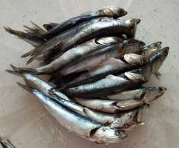 人魚共爭食,美味鮁魚食——我愛吃海鮮(103)