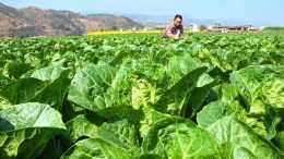 大白菜是老百姓餐桌上不可缺少的蔬菜,白菜怎樣種又高產又好吃?
